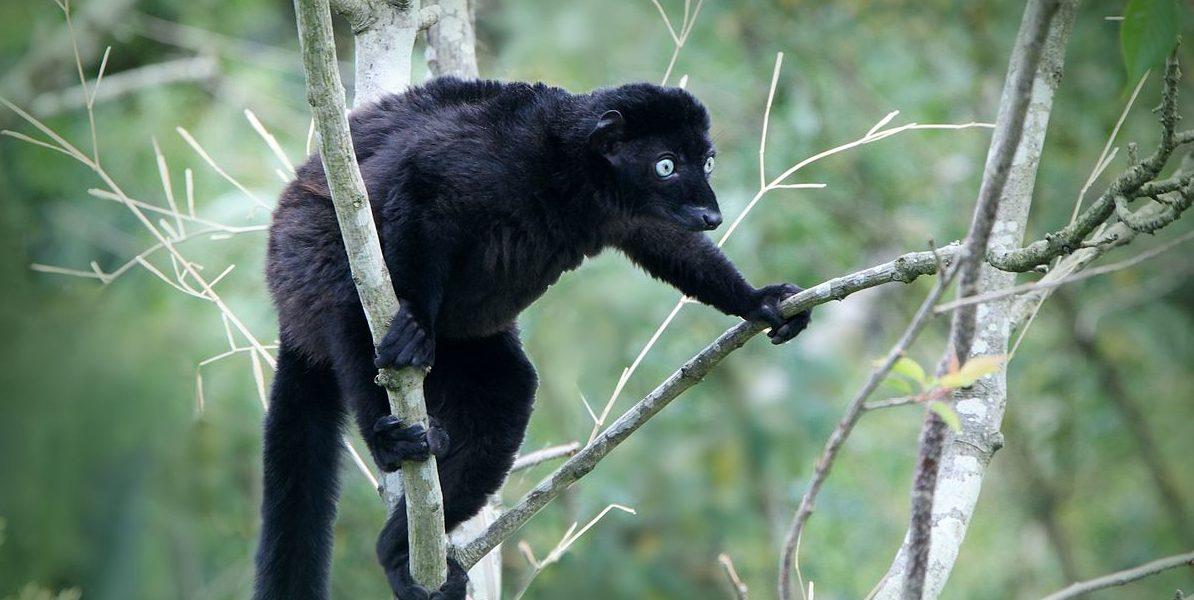 Blue-Eyed_Black_Lemur